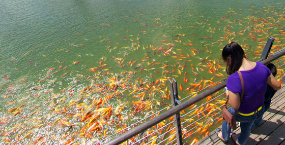 Fish Feeding at Solenad, Nuvali in Sta. Rosa Laguna teaser image